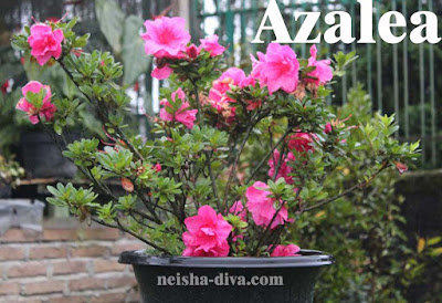 Bunga Azalea (Rumah Bunga Neisha)