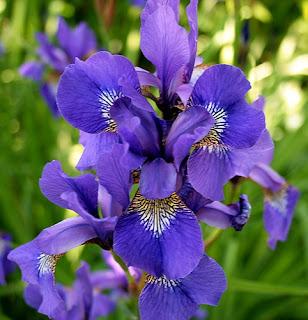 bunga-iris-surabaya