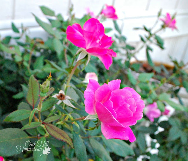 How to propagate roses from cuttings.