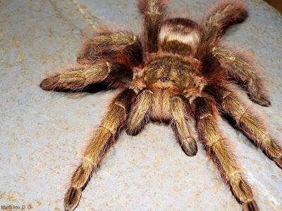 Aranha caranguejeira, aranha, caranguejeira, spider, aracnídeos, aranha caranguejeira tem veneno, aranha venenosa, aranha grande, natureza, conservação, fotos de aranha, fotos de aranha caranguejeira