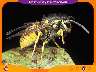 http://www.ceiploreto.es/sugerencias/juegos_educativos_6/4/2_Insectos_metamorfosis/index.html