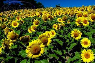 Manfaat dan Khasiat dari Tumbuhan Bunga Matahari