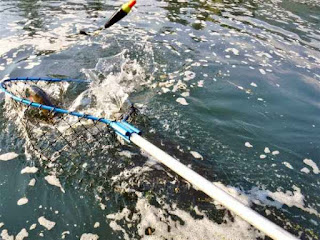 rogue-river-salmon-in-the-net