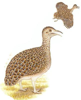 patagonian tinamou birds