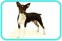 Rat Terrier (Toy - Miniature)