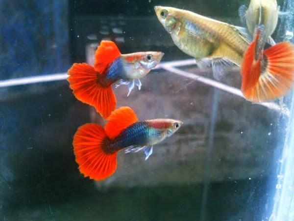 jual ikan hias murah di depok