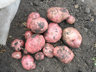 Картофель поздний народной селекции очень крупный, 2,8 кг с куста