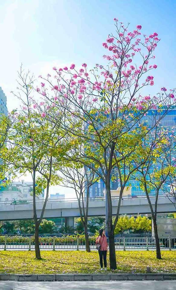 Có một Sài Gòn mộng mơ mùa hoa kèn hồng nở rộ - Ảnh 6