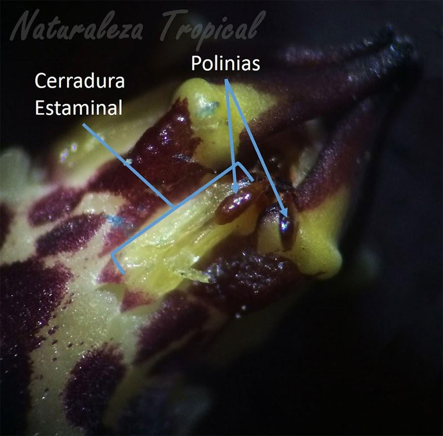 Polinia en el surco de la cerradura estaminal con una hidratación apreciable de una especie del género Huernia