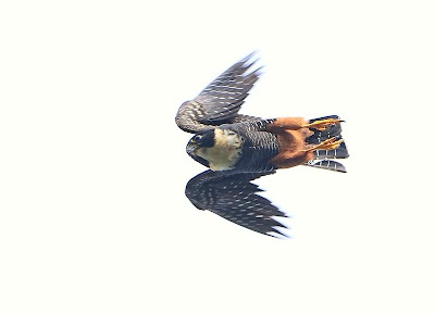 Halcón negro chico Falco rufigularis
