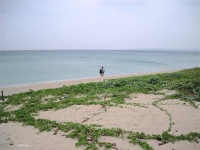 beach morning glory, Ipomoea pos-caprae in Taiwan