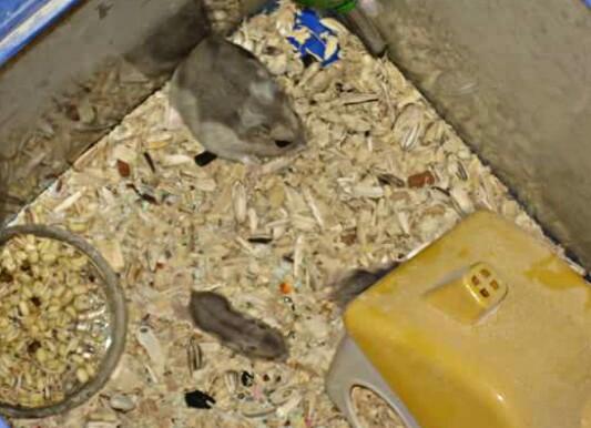 7 Cara Merawat Bayi Hamster Yang Baru Lahir Supaya Tidak Mati Hobinatang