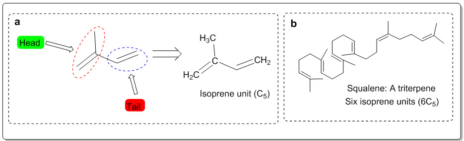 (a) Isoprene unit and (b) triterpene (Squalene)