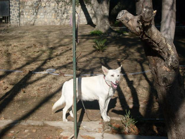 Pet Supplies Pakistan: White German Shepherd Female for sale