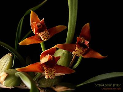 Micro Orquídea Maxillaria tenuifolia