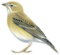 Pale Sparrow