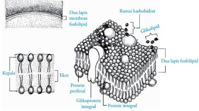 Struktur membran sel