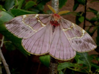 Paradirphia semirosea male