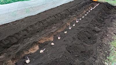 次の畝に植え付け