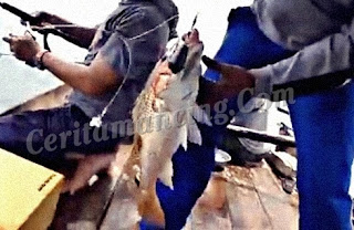 Double Strike Ikan Kakap Merah Dan Jarang Gigi ( Ikan Ungar )