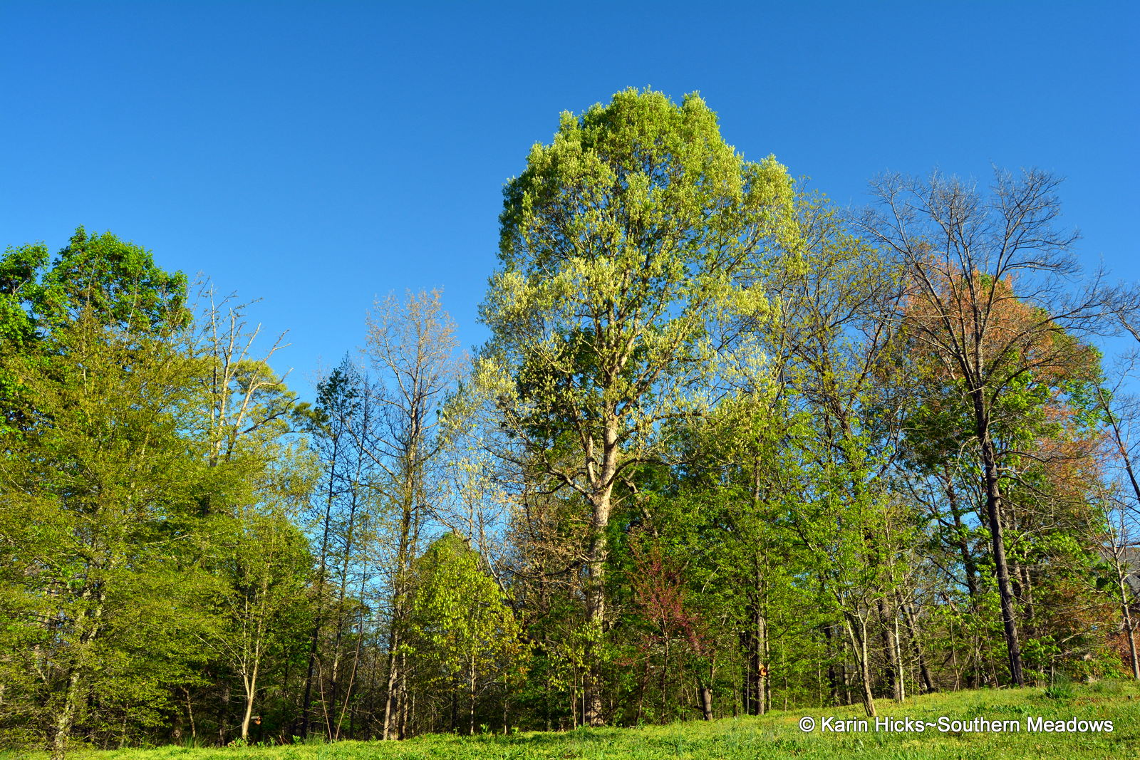 Southern Meadows: The Big Leaf Out. It\'s All About the Trees