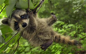 image of a baby raccoon hanging from a tree branch