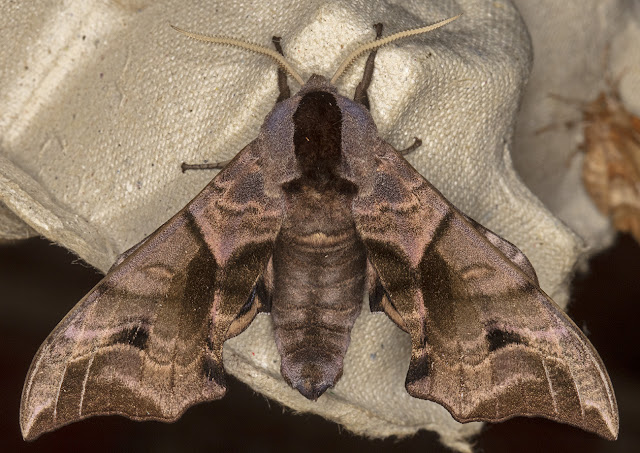 Eyed Hawk-moth, Smerinthus ocellata.   Luxford Lane, Crowborough, 3 July 2017.