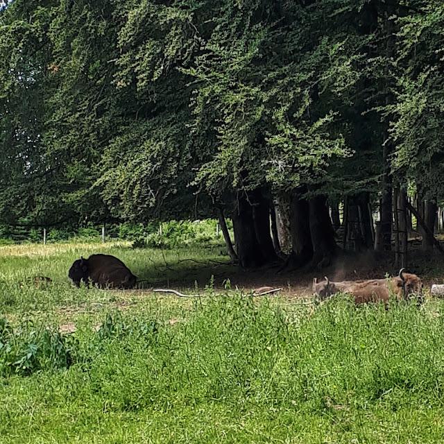 European bison in Rothaarsteig, NRW, Germany