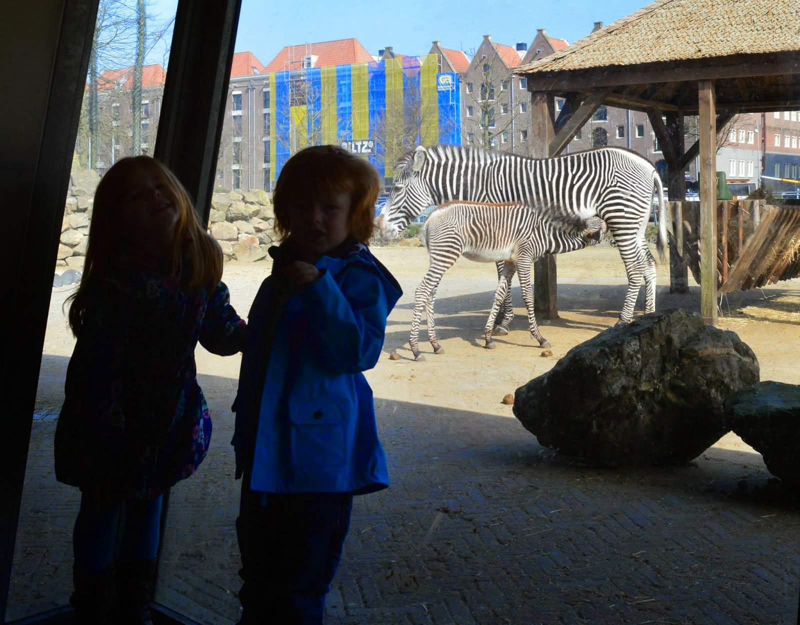 Zebras at Amsterdam zoo