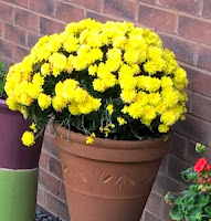 A deep garden pot with a ball of avibrant yellow flowering chrysanthemum