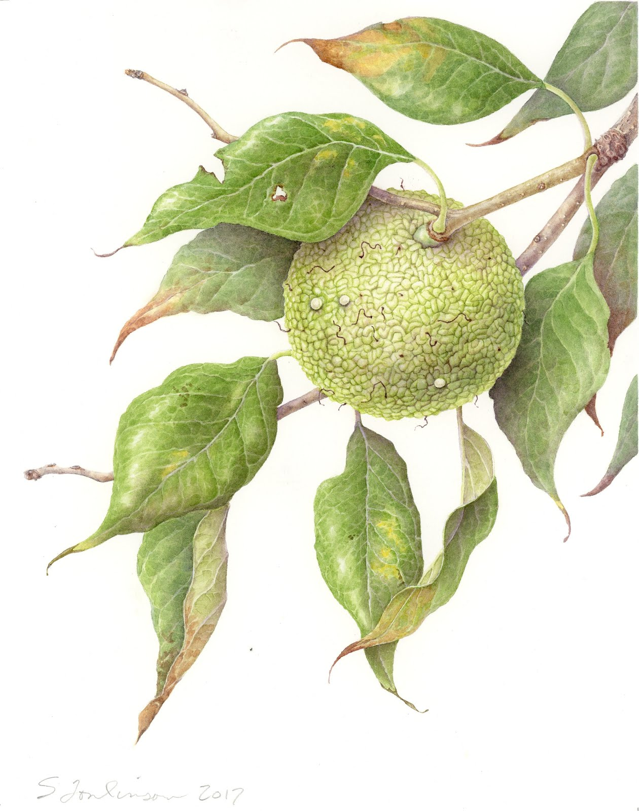 My website: Susan Tomlinson Botanical Art