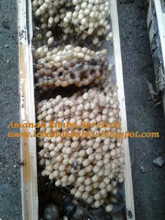panen lebah madu klanceng lanceng kelulut tawon trigona spp