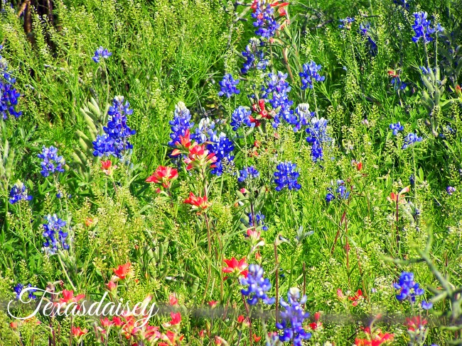 Texas Bluebonnets with Indian Paintbrush