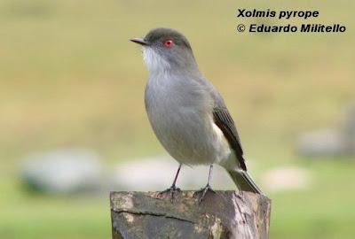 patagonian tyrant birds