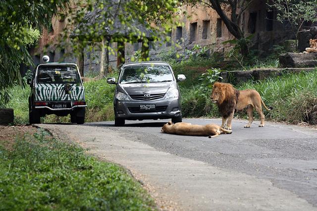 foto singa di jalan taman safari