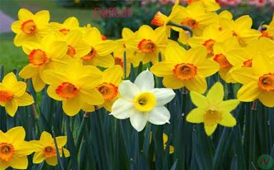 daffodil flower, daffodil