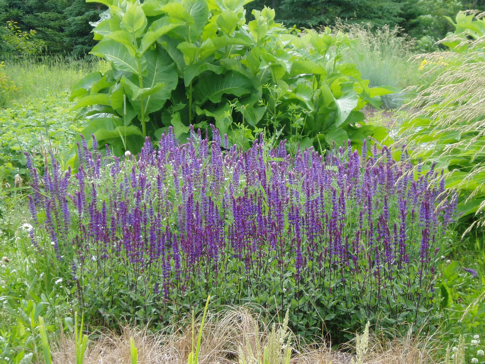 Pictures of perennial flowers and names insured by laura for Flowering plants names and pictures
