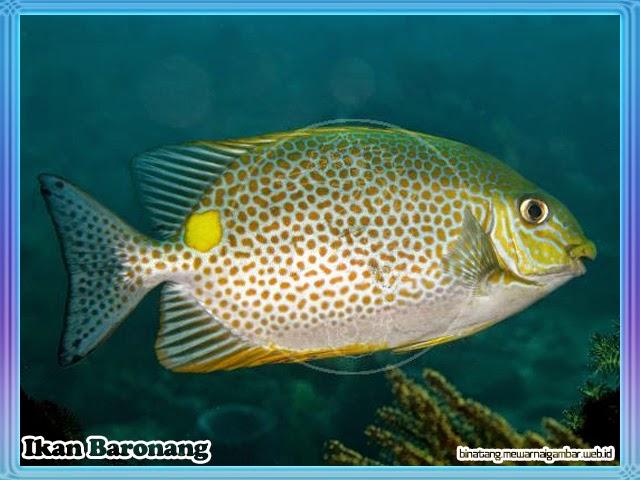 gambar ikan baronang
