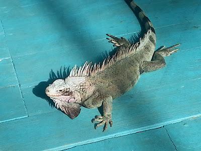 iguana st thomas usvi