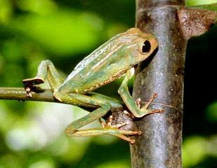 Foto de una rana trepada en una planta