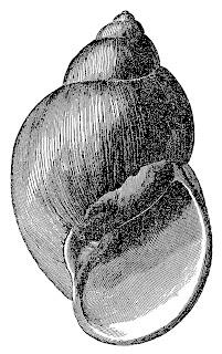 seashell illustration craft transfer image ocean beach clip art