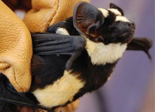 https://bio-orbis.blogspot.com/2014/05/o-raro-morcego-panda.html