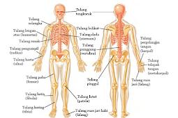 Fungsi Utama Tulang Bagi Tubuh dan Struktur Tulang