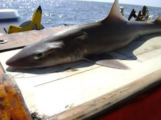 8600 Koleksi Gambar Ikan Hiu Botol Terbaik
