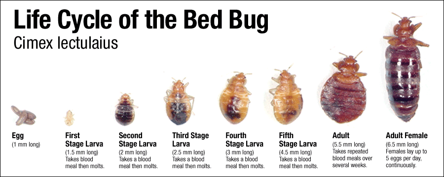 I Ve Seen A Few Bed Bugs