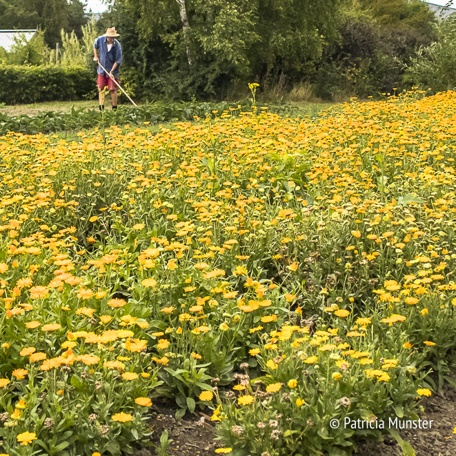 Field of Marigold Flowers in Zoetermeer - Calendula