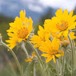 Arnica... Not just another pretty flower!