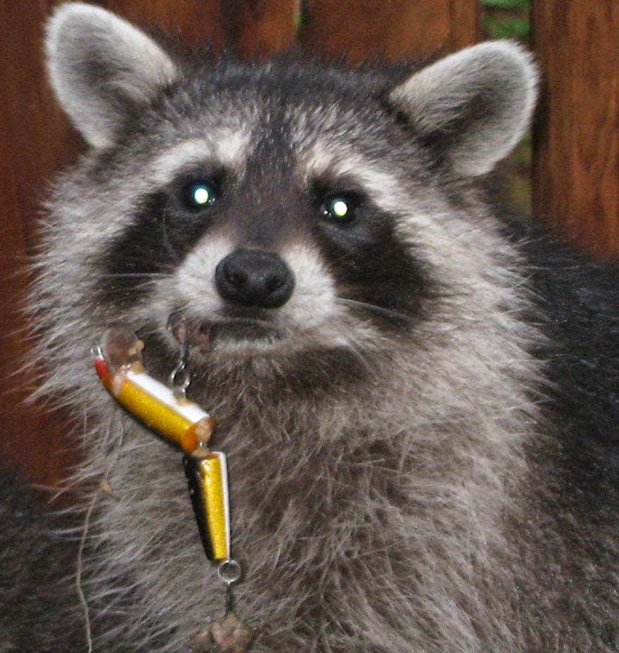 You Will Want To Recycle Everything After Seeing These Photos! - Young Raccoon With Fishing Lure In His Lip