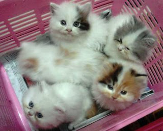 Cara Memelihara Anak Kucing Persia Medium yang Benar