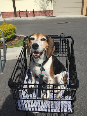 Lulu will walk into Petco again soon, but she will ride in a cart for now